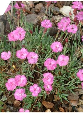Dianthus 'Pink Jewel'