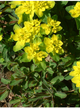 Euphorbia epithymoides 'Candy'