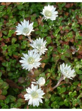 Anaphalioides (Helichrysum) bellidioides