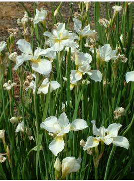 Iris 'Alba' (Sib)