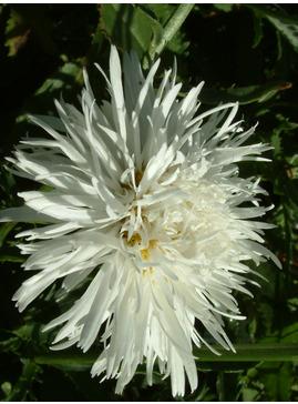 Leucanthemum 'Aglaia'