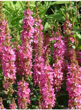 Lythrum salicaria 'Robert'