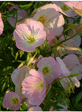 Oenothera speciosa 'Pink Petticoats'
