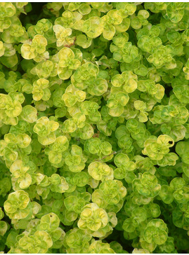 Origanum vulgare 'Aureum Crispum'