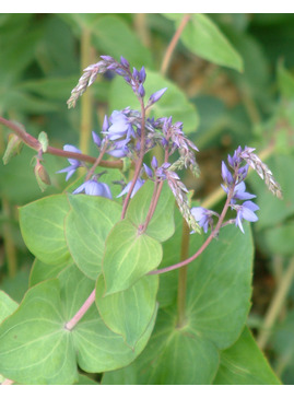 Parahebe perfoliata