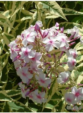 Phlox paniculata 'Norah Leigh'
