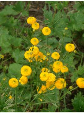 Ranunculus acris 'Flore Pleno'