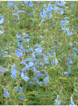 Salvia patens 'Cambridge Blue'