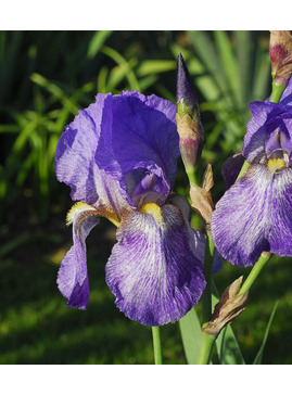 Iris 'Benton Blue John'