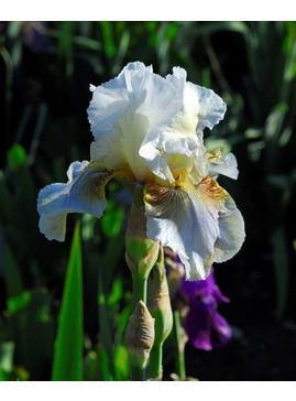 Iris 'Benton Farewell'
