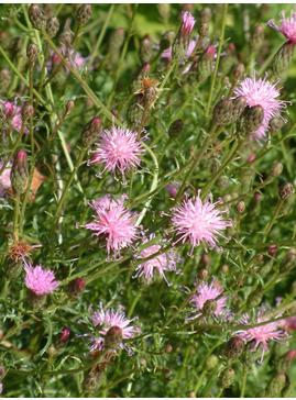 Serratula tinctoria var. seoanei