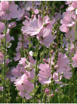Sidalcea 'My Love'
