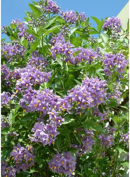 Solanum crispum 'Glasnevin'