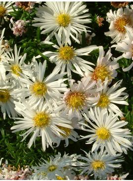 Symphyotrichum novi-belgii 'Kristina'
