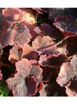 Tellima grandiflora Rubra Group