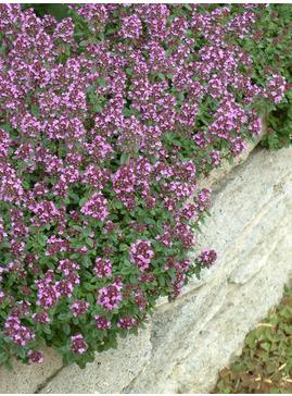 Thymus 'Redstart'