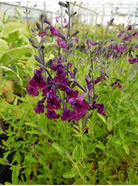 Salvia 'Nachtvlinder'