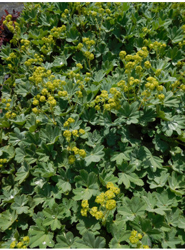 Alchemilla erythropoda Turkish Form