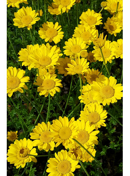 Anthemis tinctoria 'Grallagh Gold'