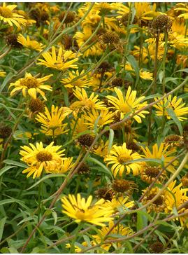 Buphthalmum salicifolium 'Alpengold'