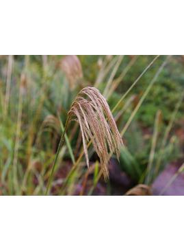 Miscanthus nepalensis