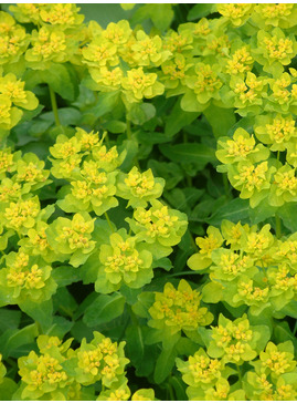 Euphorbia epithymoides 'Major'