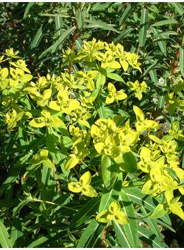 Euphorbia donii