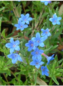Glandora prostrata 'Heavenly Blue'