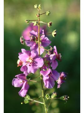Verbascum phoeniceum 'Violetta'