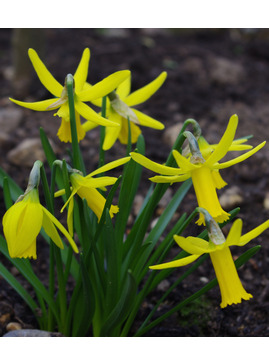 Narcissus 'Cecil Nice'