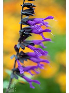 Salvia 'Amistad'