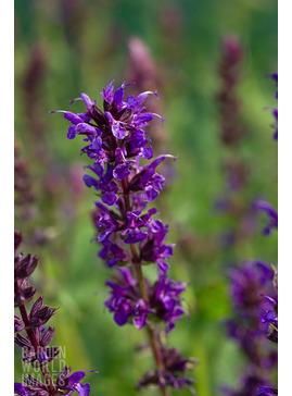 Salvia nemorosa 'Wesuwe'