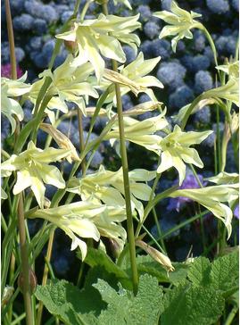 Gladiolus tristis