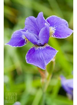 Iris 'Silver Edge' (Sib)