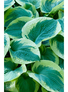 Hosta 'Northern Exposure' (sieboldiana)