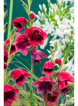 Gladiolus 'Ruby' (papilio hybrid)