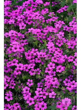 Geranium Patricia = 'Brempat'