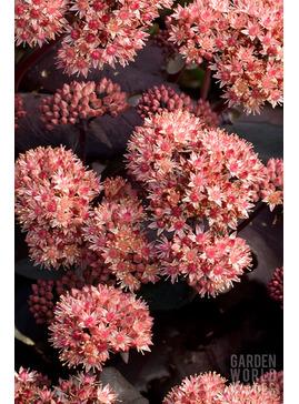 Hylotelephium telephium  Atropurpureum Group
