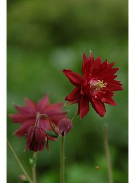 Aquilegia vulgaris var. stellata 'Ruby Port'