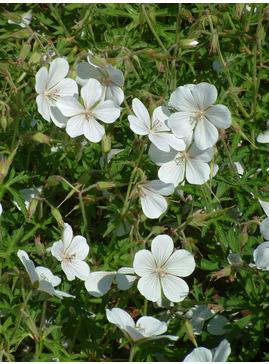 Geranium clarkei 'Kashmir White'
