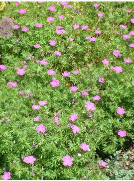 Geranium sanguineum 'Cedric Morris'