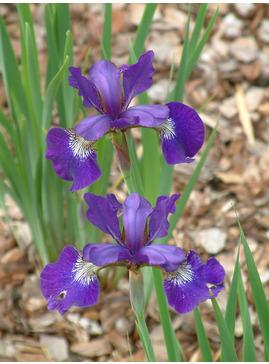 Iris 'Teal Velvet' (Sib)