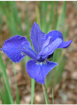 Iris 'Vi Luihn' (Sib)