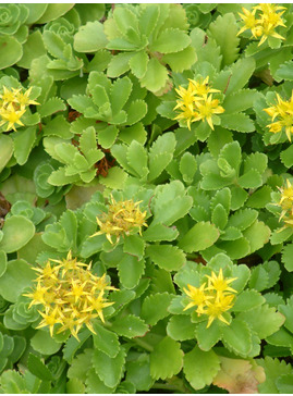 Sedum spurium 'Green Mantle'