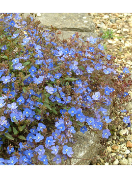 Veronica umbrosa 'Georgia Blue'