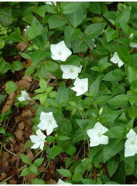 Vinca minor f. alba