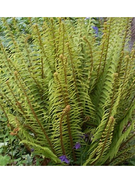 Polystichum setiferum (Divisilobum Group) 'Dahlem'