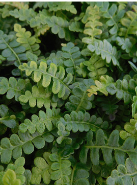 Blechnum penna-marina subsp. alpinum