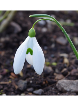 Galanthus 'Bill Bishop'