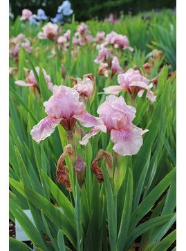 Iris 'Raspberry Blush'